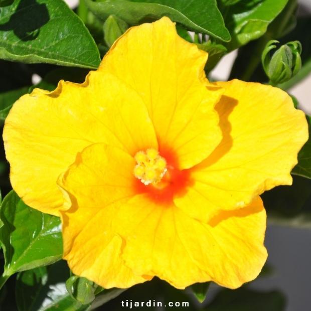 Hibiscus rosa sinensis 'Vahine' fleur