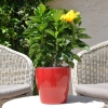 Hibiscus rosa sinensis 'Vahine' fleurie
