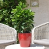 Hibiscus rosa sinensis 'Vahine' non fleurie