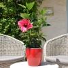 Hibiscus rosa sinensis 'HibisQs' Adonicus Double Pink fleurie