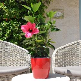 Hibiscus rosa sinensis 'HibisQs' Adonicus Double Pink fleur