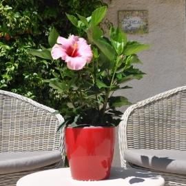 Hibiscus rosa sinensis 'HibisQs' Adonicus Pink fleur