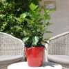 Hibiscus rosa sinensis 'HibisQs' Adonicus Pink non fleurie
