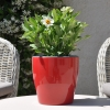 Zinnia hybride 'Zahara' blanc fleurie