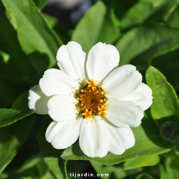 Zinnia hybride 'Zahara' blanc fleur