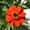 Zinnia hybride 'Zahara' orange fleur