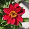 Zinnia hybride 'Zahara' fuchsia fleur