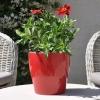 Zinnia hybride 'Zahara' fuchsia fleurie