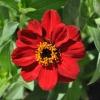 Zinnia hybride 'Zahara' rouge fleur