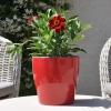 Zinnia hybride 'Zahara' rouge fleurie