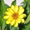 Zinnia hybride 'Zahara' jaune fleur