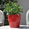 Zinnia hybride 'Zahara' non fleurie