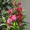 Penstemon hartwegii 'Phoenix' magenta fleurs