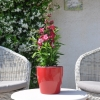 Penstemon hartwegii 'Phoenix' magenta fleurie