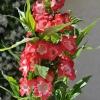 Penstemon hartwegii 'Phoenix' rouge fleurs
