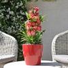 Penstemon hartwegii 'Phoenix' rouge fleurie