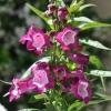 Penstemon hartwegii 'Phoenix' violet fleurs