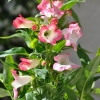 Penstemon hartwegii 'Phoenix' blanc-rose fleurs