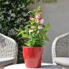 Penstemon hartwegii 'Phoenix' blanc-rose fleurie