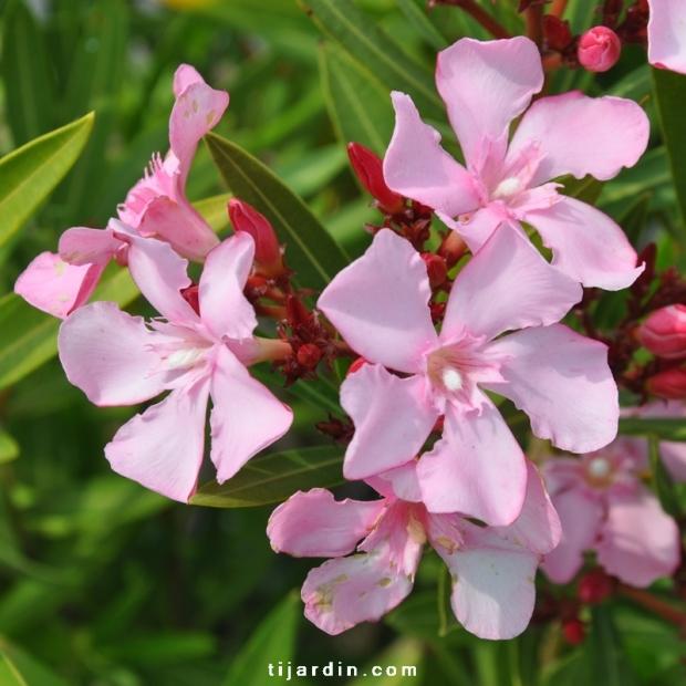 Nerium oleander 'Atlas' fleurs