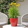 Coreopsis Grandiflora rouge-jaune fleurie