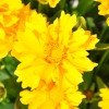 Coreopsis Grandiflora jaune fleur