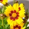 Coreopsis Grandiflora rouge-jaune fleur