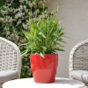 Coreopsis Grandiflora rouge-jaune non fleurie
