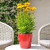 Coreopsis Grandiflora jaune-rouge fleurie