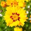 Coreopsis Grandiflora jaune-rouge fleur