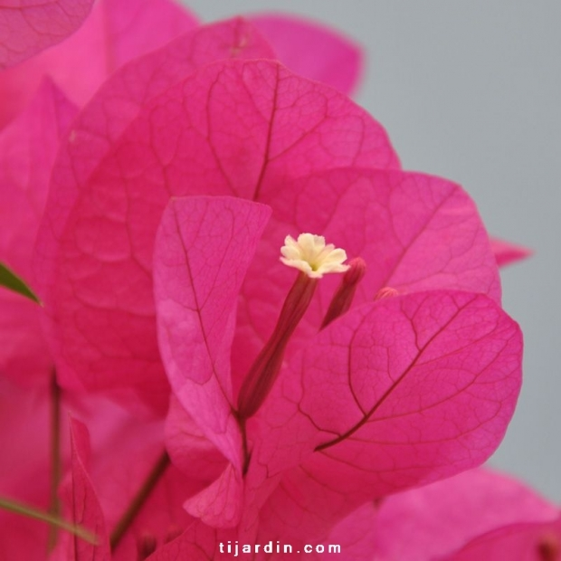 Bougainvillea 'Louisa'