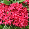 Pentas 'Graffiti' fuchsia fleurs