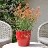 Agastache aurantiaca Kudos orange fleurie