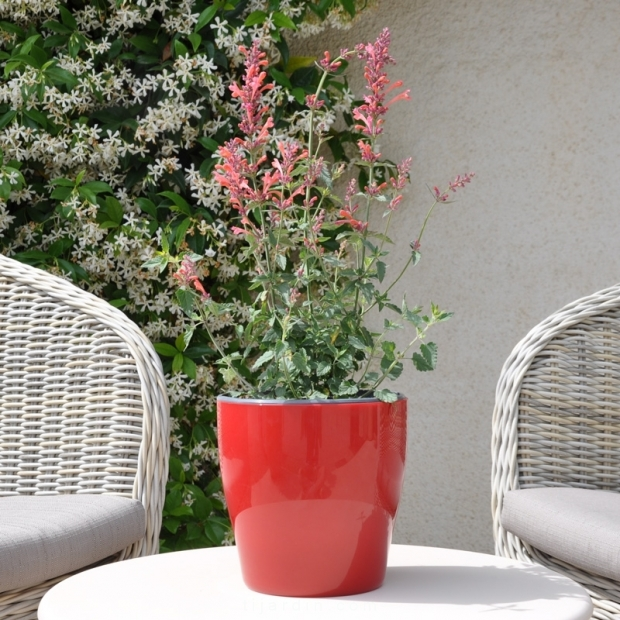 Agastache aurantiaca Kudos rose fleurie