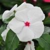 Catharanthus-Pervenche de Madagascar Blanc-Rose fleur