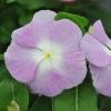 Catharanthus-Pervenche de Madagascar Blanc-Violet fleur