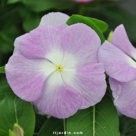 Catharanthus-Pervenche de Madagascar tons violet