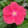 Catharanthus-Pervenche de Madagascar fuchsia fleur