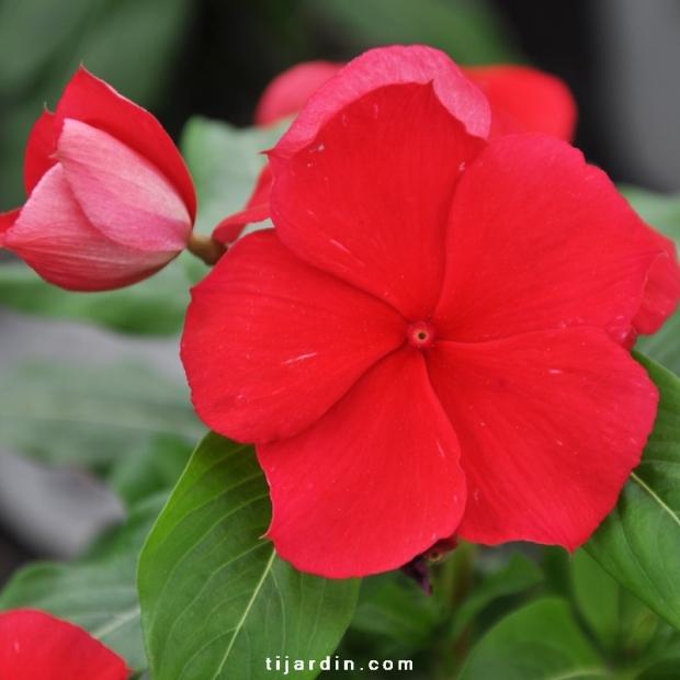 Catharanthus-Pervenche de Madagascar rouge fleur