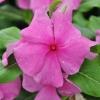 Catharanthus-Pervenche de Madagascar Violet-foncé fleur