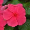 Catharanthus-Pervenche de Madagascar rose-foncé fleur