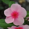 Catharanthus-Pervenche de Madagascar rose-rouge fleur