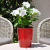 Catharanthus-Pervenche de Madagascar Blanc fleurie