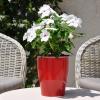 Catharanthus-Pervenche de Madagascar Blanc-Rose fleurie