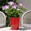 Catharanthus-Pervenche de Madagascar Blanc-Violet fleurie
