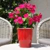 Catharanthus-Pervenche de Madagascar magenta fleurie