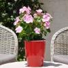 Catharanthus-Pervenche de Madagascar rose-clair fleurie