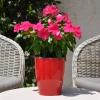 Catharanthus-Pervenche de Madagascar rose-foncé fleurie