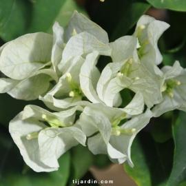 Bougainvillea 'Marie Blanc'