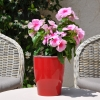 Catharanthus-Pervenche de Madagascar rose-rouge fleurie